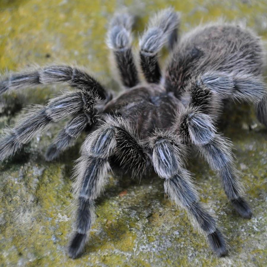 картон, картинки с пауками тарантулами гостей удивить