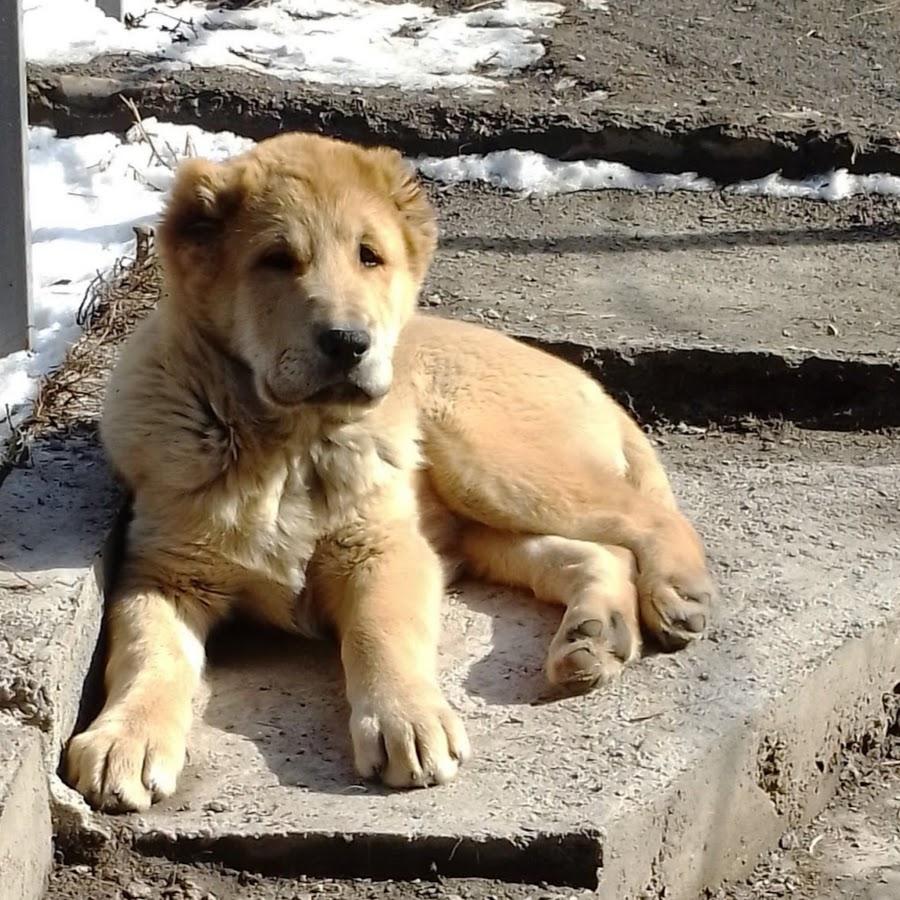 казахский волкодав фото будет интересно тем