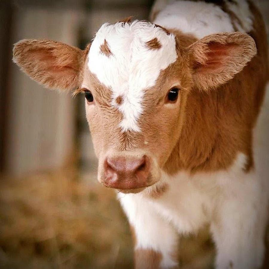 Картинки маленькой коровы