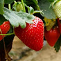 Sustainable Hydroponic and Soilless Strawberry Production Systems
