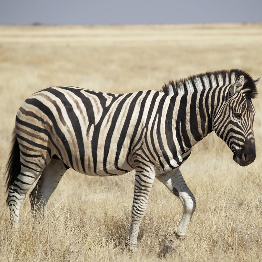 картинки жирафа слона зебры нем артистка