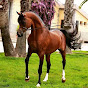 Superb Arabian Horses