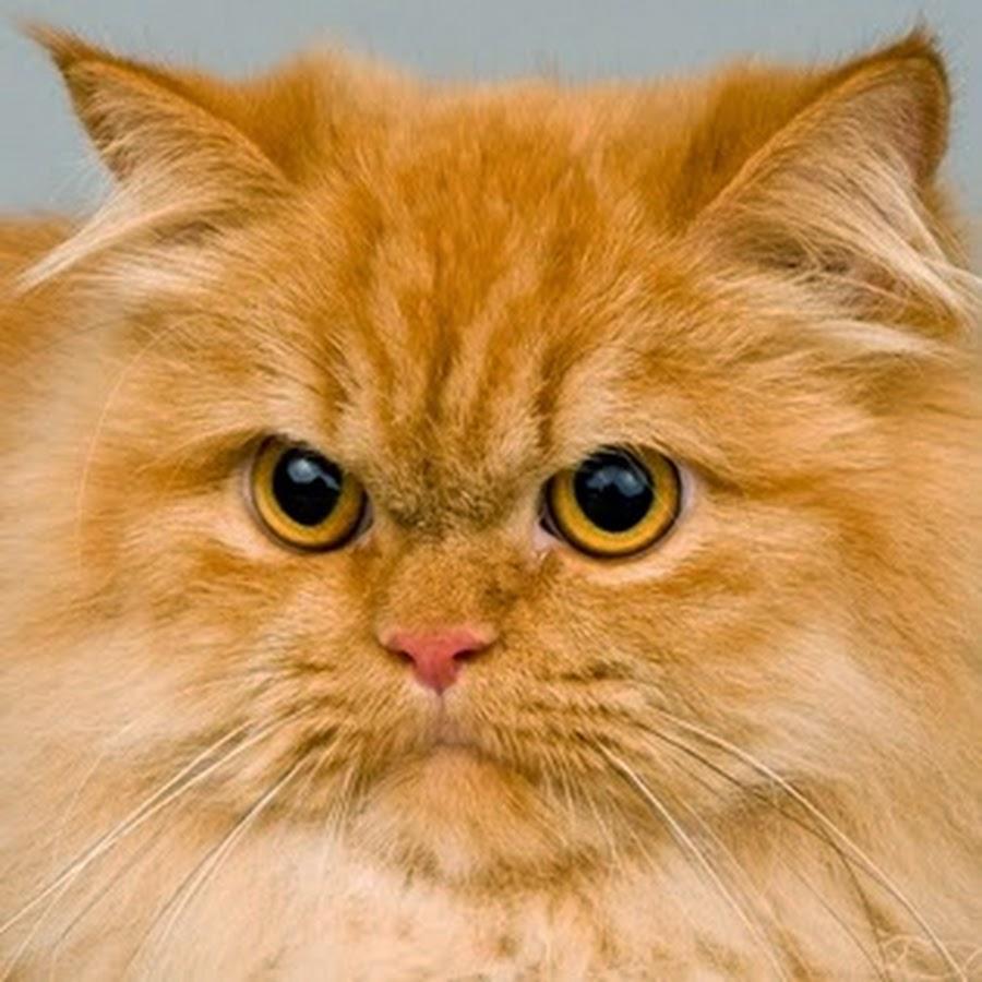 Персидский котенок классического типа фото