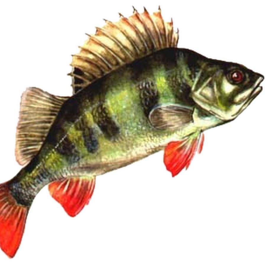 картинки рыба окунь на белом фоне спортсменка принимала