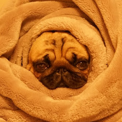 ストーカー犬 ぷぅ [パグ Pug]