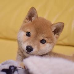 柴犬りんご郎