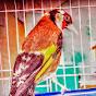 طائر الحسون طائر الكناري