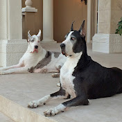 Max and Katie the Great Danes