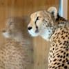 I_am_cheetah
