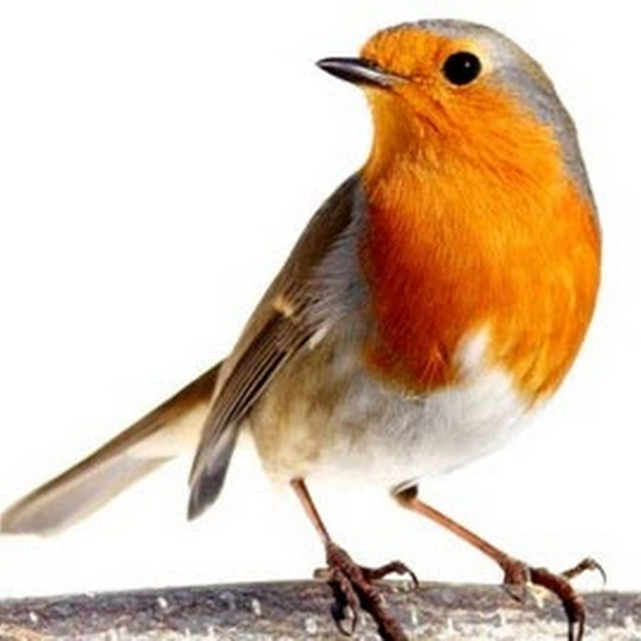 Картинка юрок птица для детей