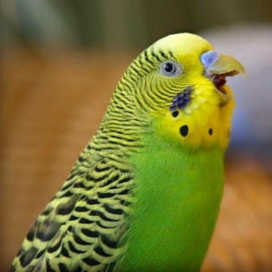 эту фотографию волнистый попугайчик прикол картинка платья столь хороши