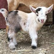 The CABRA Farmhouse Goat Yoga