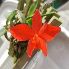 Caco Orchids maicon machado