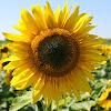 National Sunflower