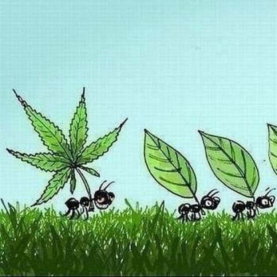 Картинки муравей с марихуаной на что влияет курение марихуаны у женщин