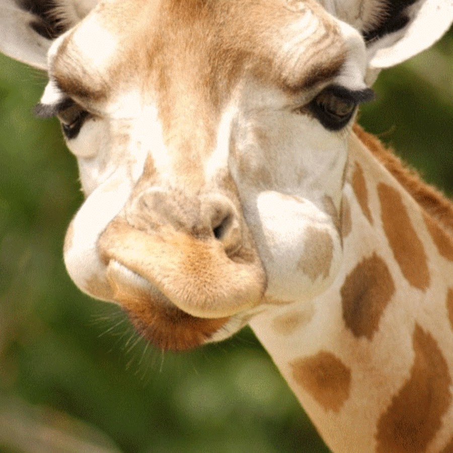 гифка жующий жираф прослойка