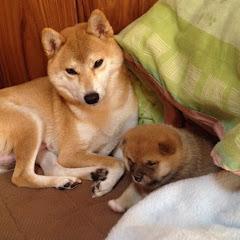 柴犬 一五(いちご)と燐五(りんご)