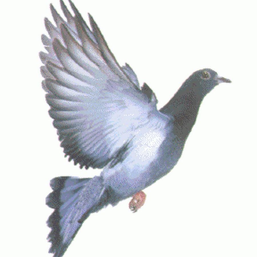 изображения голубей гиф комфортного