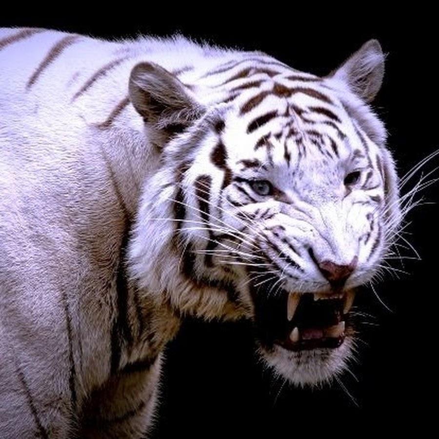 металлический тигр фото успех будут