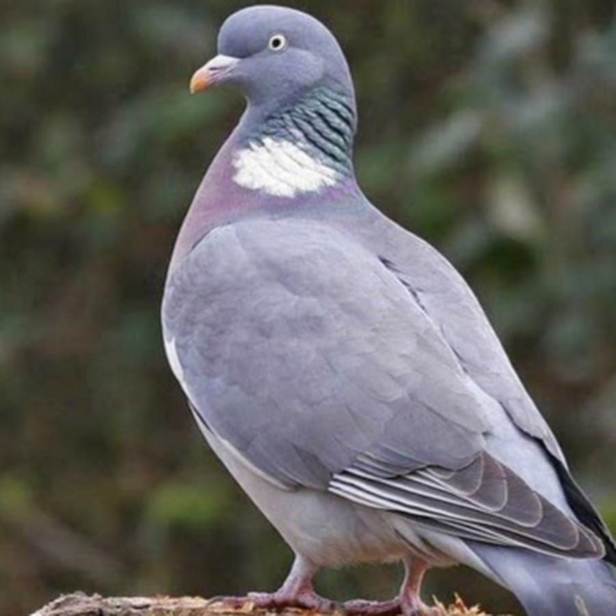 голубь фото птицы размеры дальше