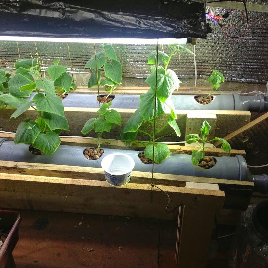 На вырастить гидропонике клубники семена марихуаны фото листьев