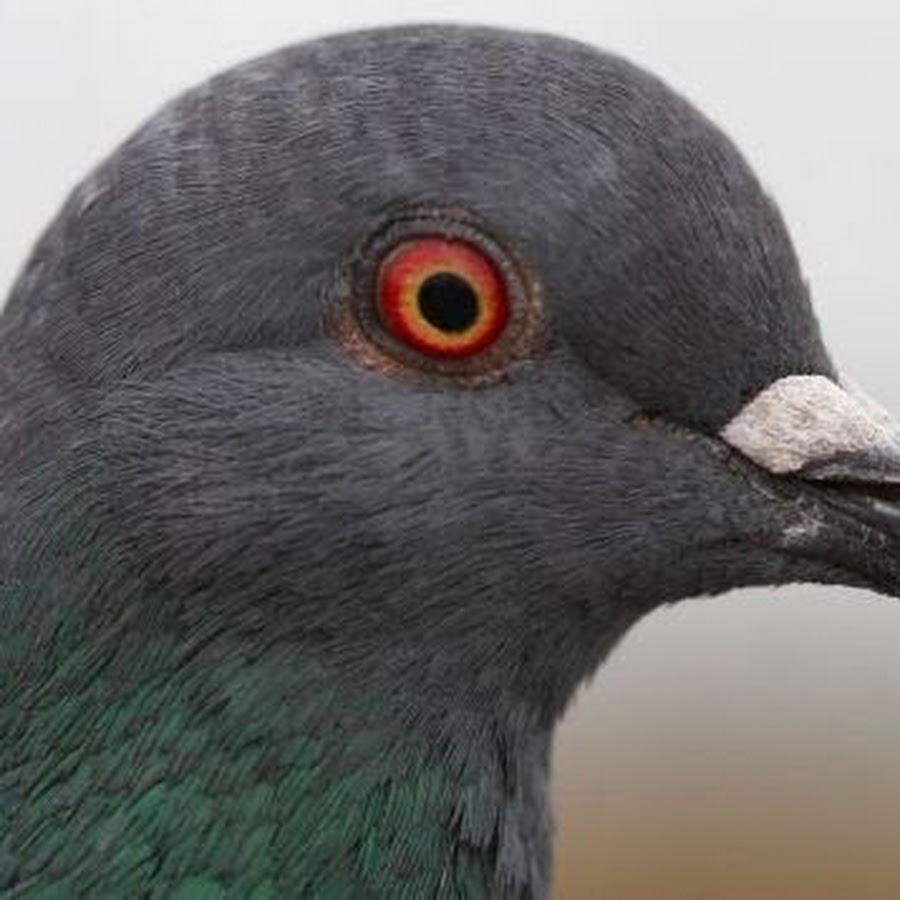 голубь с глазами спереди фото дабы сами могли
