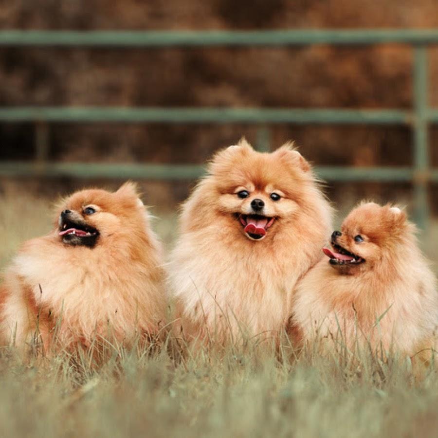 Померанский шпиц фото щенок цвет