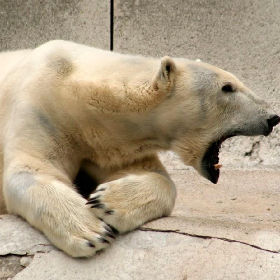 медведь тв