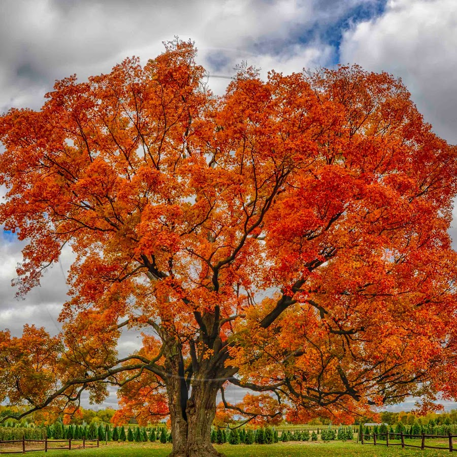 нравится клен деревья фото декоративное обрамление штор