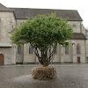 Baum der Hoffnung und Zukunft auf dem Münsterhof