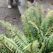Boomer Old English Sheepdog
