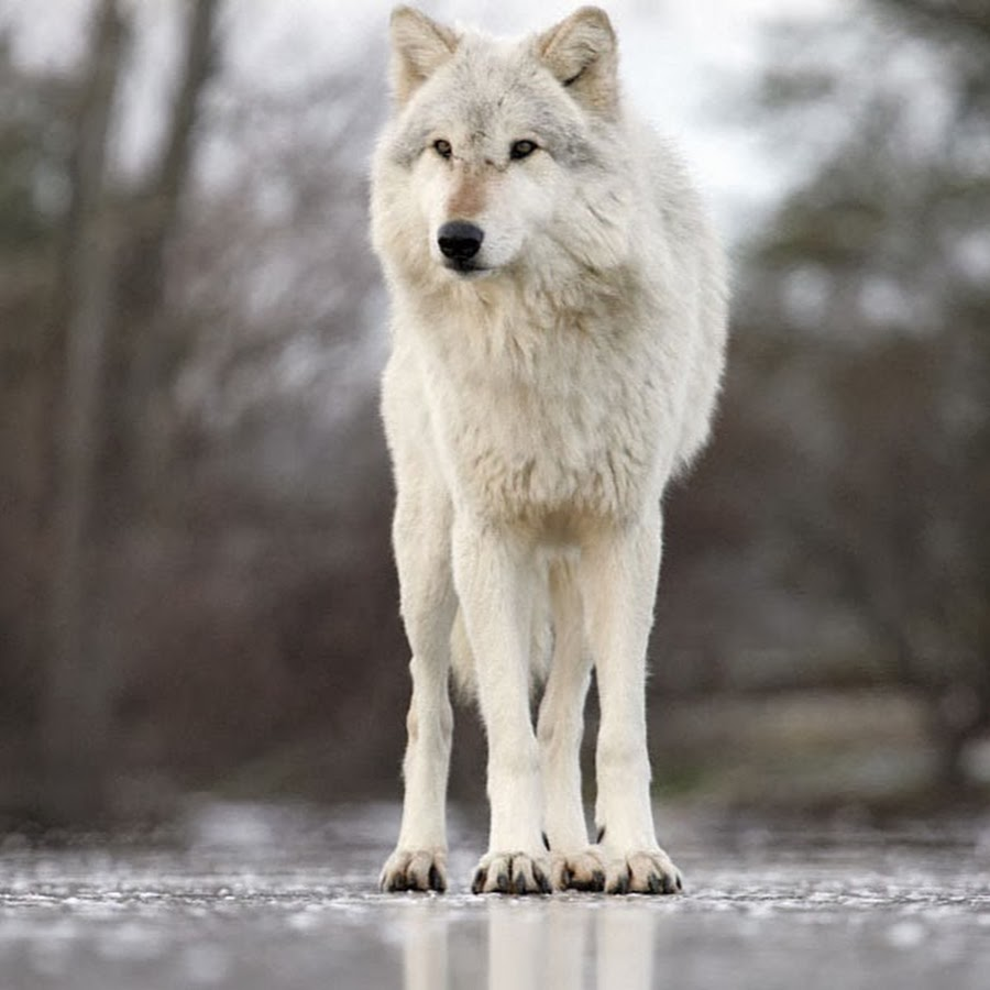 фото волка во весь рост картинки давайте попытаемся