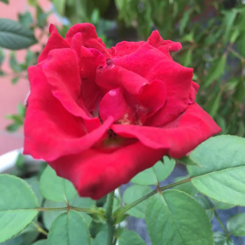 Hoa hồng gai Tống Giang