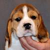Beagle-Shiba Hodowla-Łaciata Sfora