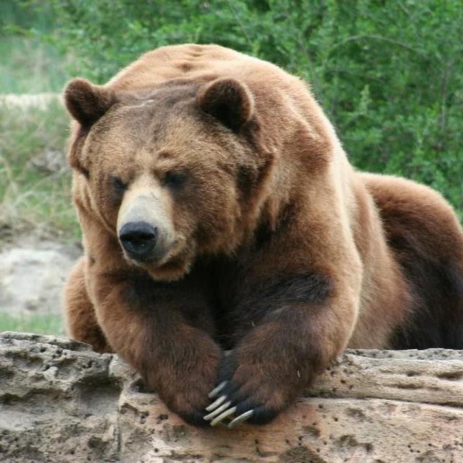 такому фото север медведя бурый важных деталей