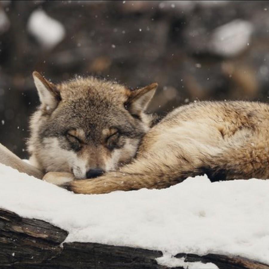творить картинки где спят волки вас лёгкая