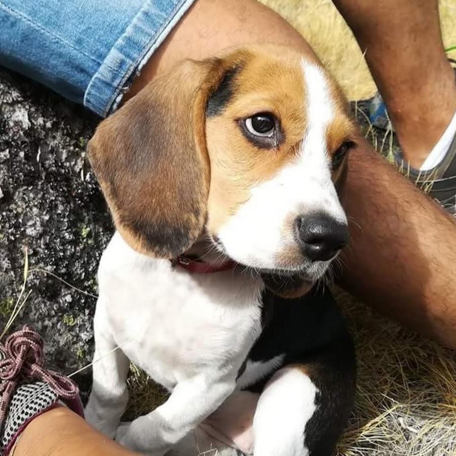 Pipas The Beagle