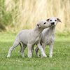 Whippets of Gentle Mind
