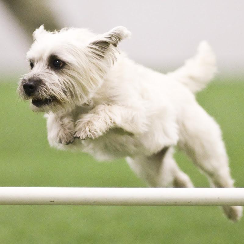 Cairn Terrier Rescue Missouri