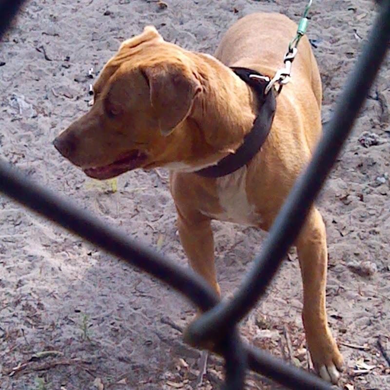 Raw feeding my pitbull AKA game dog Pt 3   FunnyDog TV