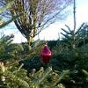 ScotChristmasTrees