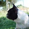 Day Boston Terriers