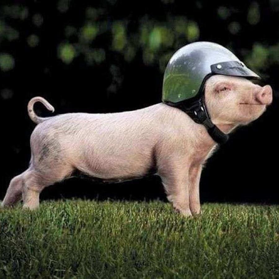 Смешные свинья в картинках, желаю