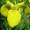 yellowflagwildflowers