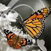 Butterfly Release Company