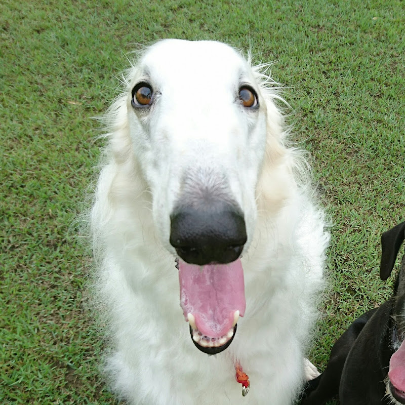 Borzoi And Border Collie And Great Dane Mixed Irish Wolfhound