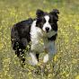 Border Collie Shetland