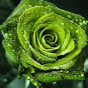 greenrosetv