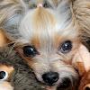 Der Yorkshire Terrier Blog