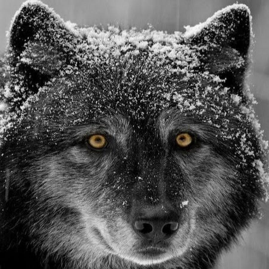 Мишка картинки, самые смешные картинки волков